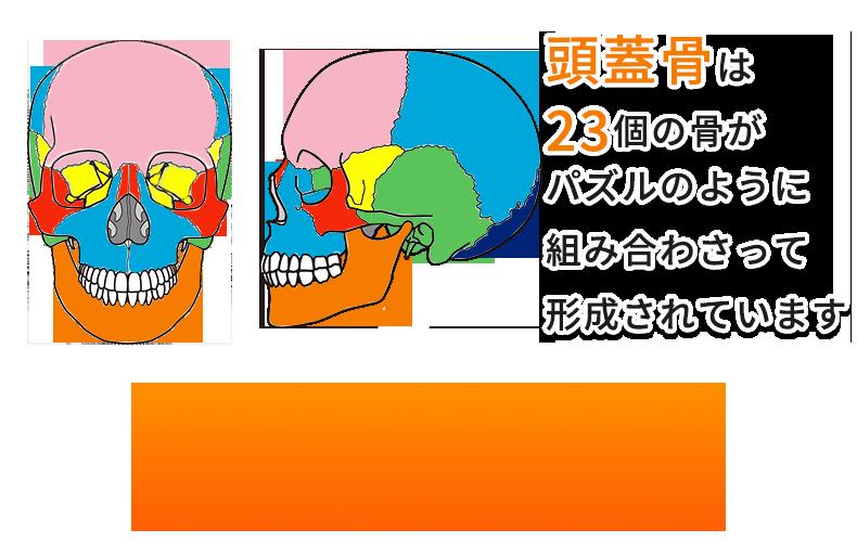 頭蓋骨は23個の骨で形成されています。